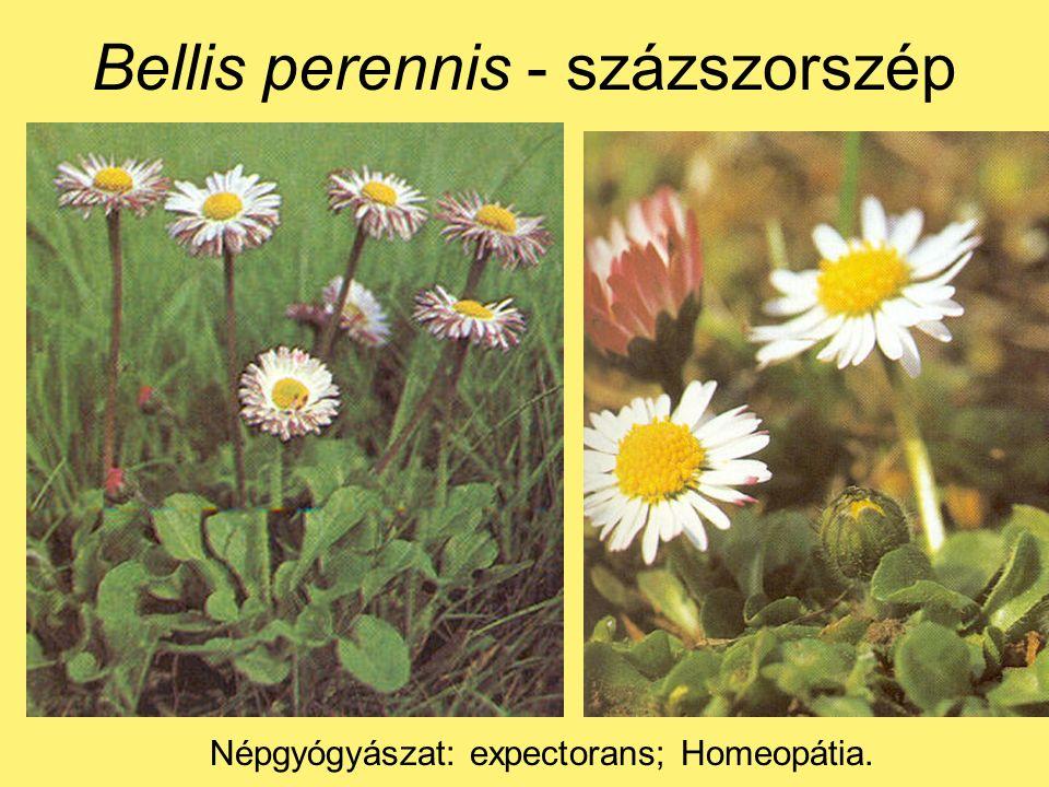 Bellis perennis - százszorszép Népgyógyászat: expectorans; Homeopátia.