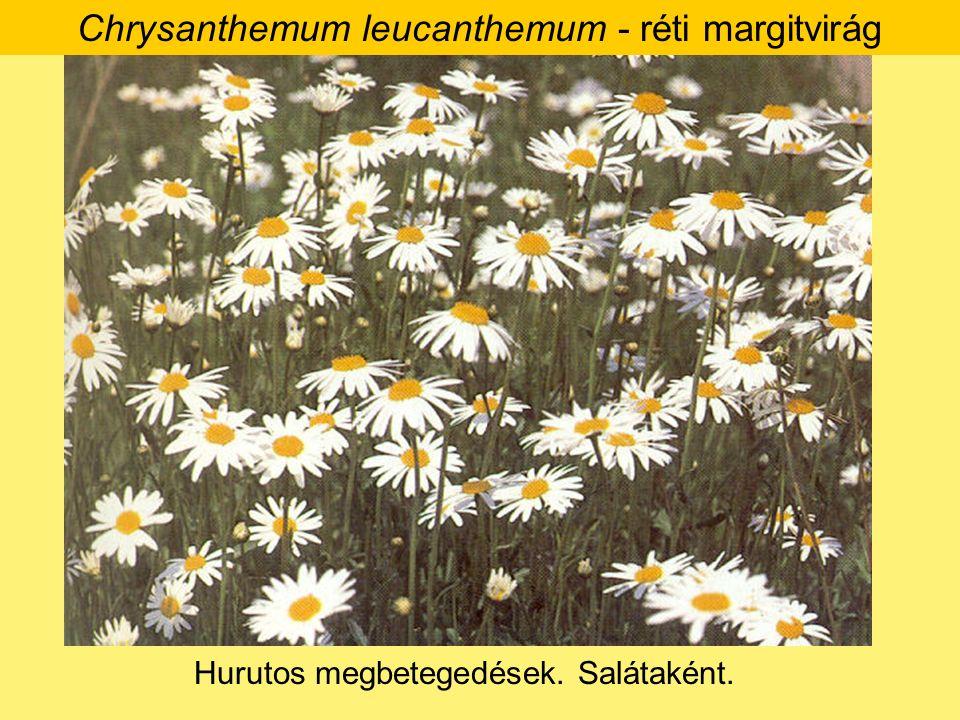Chrysanthemum leucanthemum - réti margitvirág Hurutos megbetegedések. Salátaként.