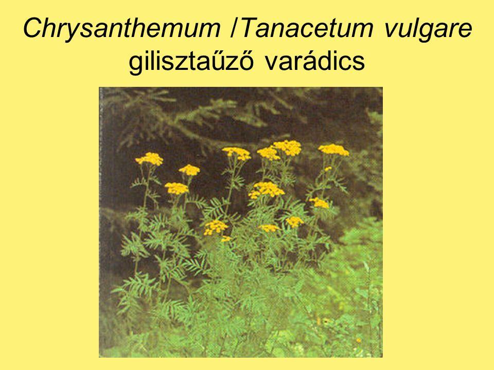 Chrysanthemum /Tanacetum vulgare gilisztaűző varádics