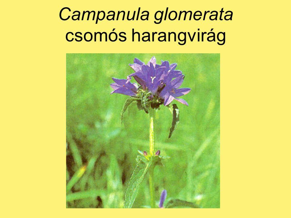 Achillea millefolium közönséges cickafark illóolaj: kamazulén, azulén gyulladáscsökkentő vérzéscsillapító s.l.