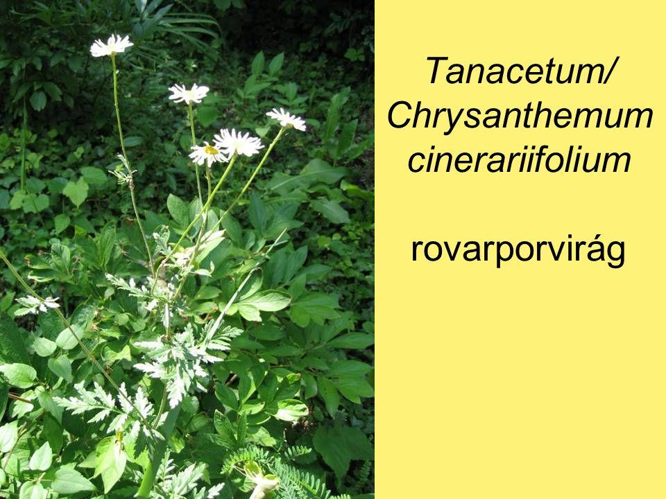 Tanacetum/ Chrysanthemum cinerariifolium rovarporvirág
