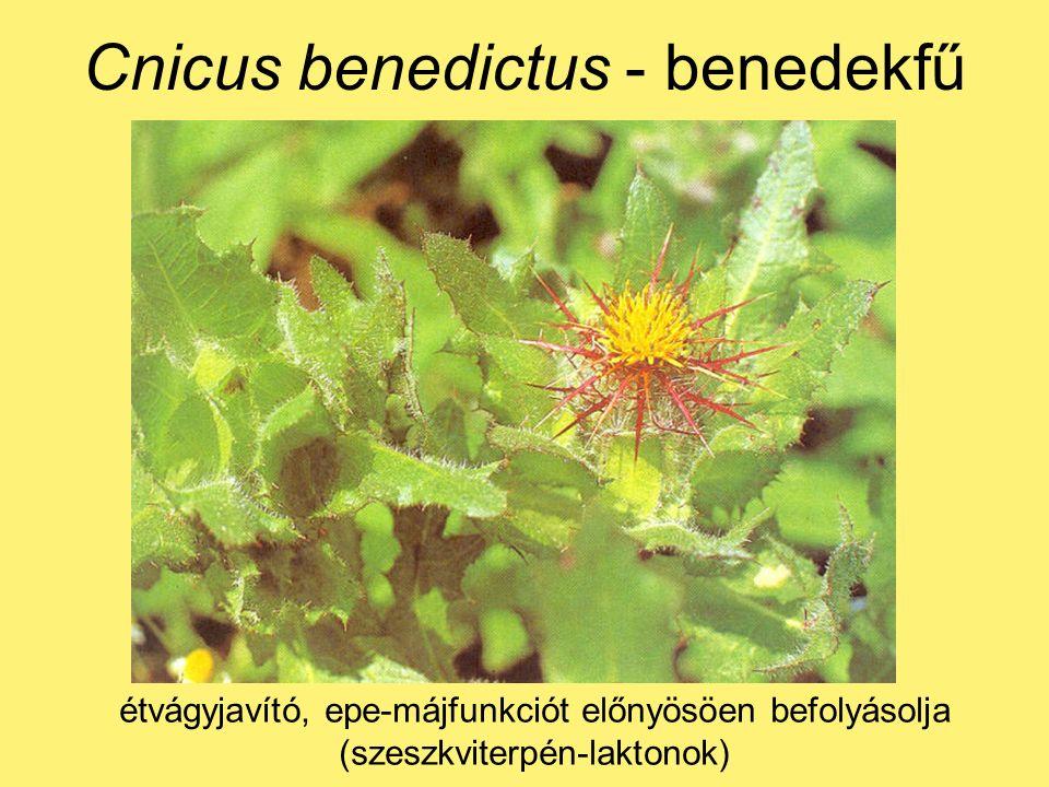 Cnicus benedictus - benedekfű étvágyjavító, epe-májfunkciót előnyösöen befolyásolja (szeszkviterpén-laktonok)
