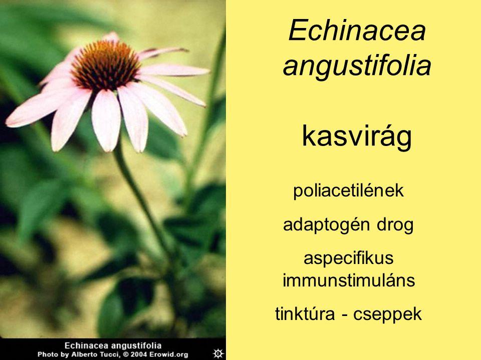 Echinacea angustifolia kasvirág poliacetilének adaptogén drog aspecifikus immunstimuláns tinktúra - cseppek
