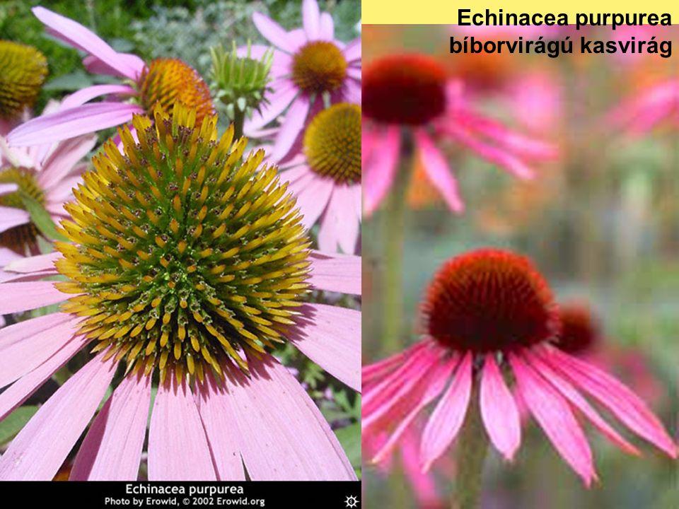 Echinacea purpurea bíborvirágú kasvirág