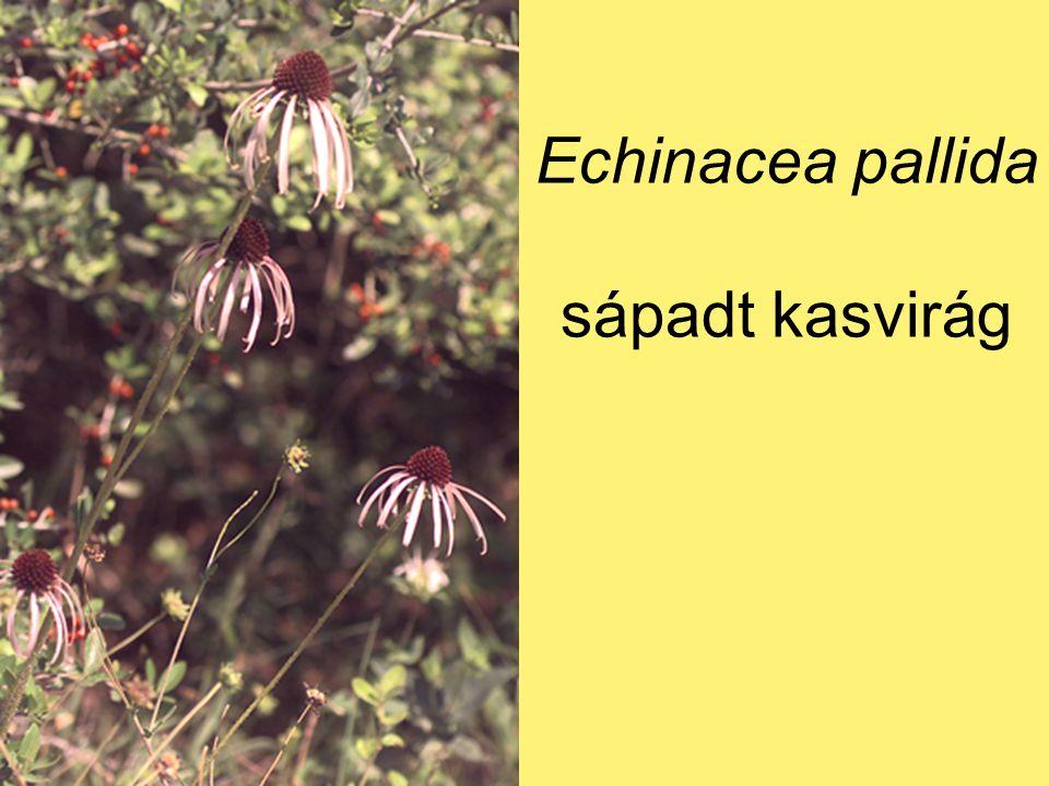 Echinacea pallida sápadt kasvirág
