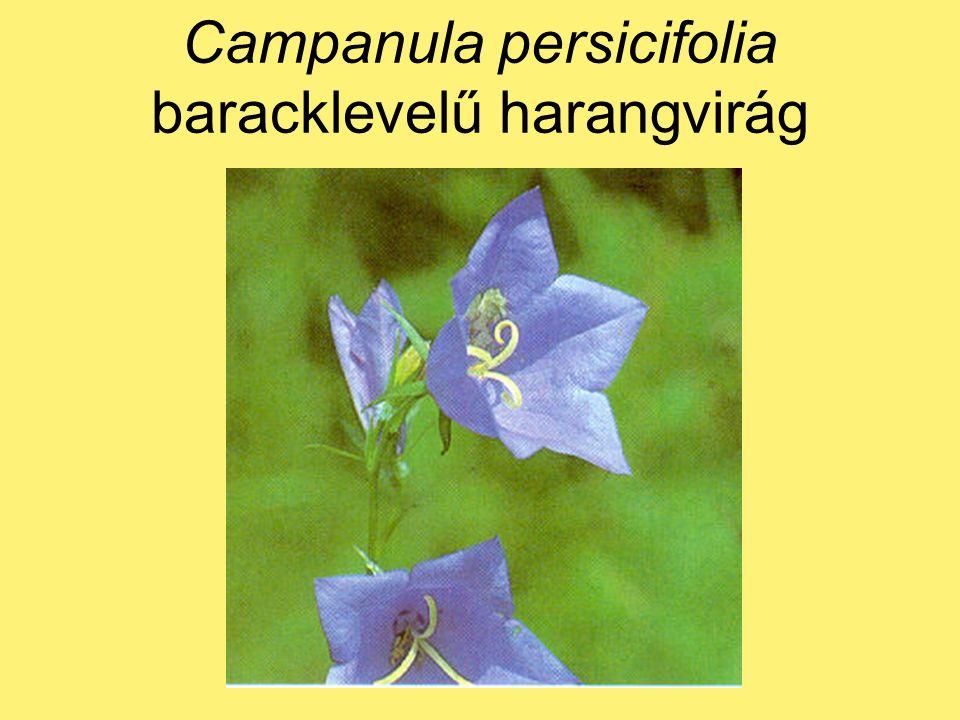 Campanula persicifolia baracklevelű harangvirág