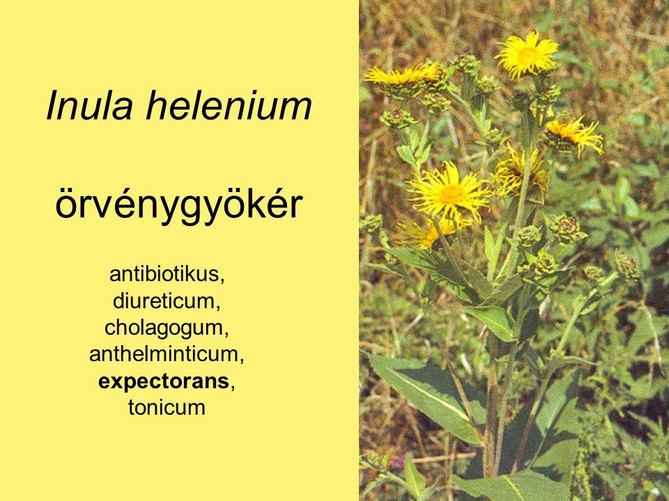 Inula helenium örvénygyökér antibiotikus, diureticum, cholagogum, anthelminticum, expectorans, tonicum