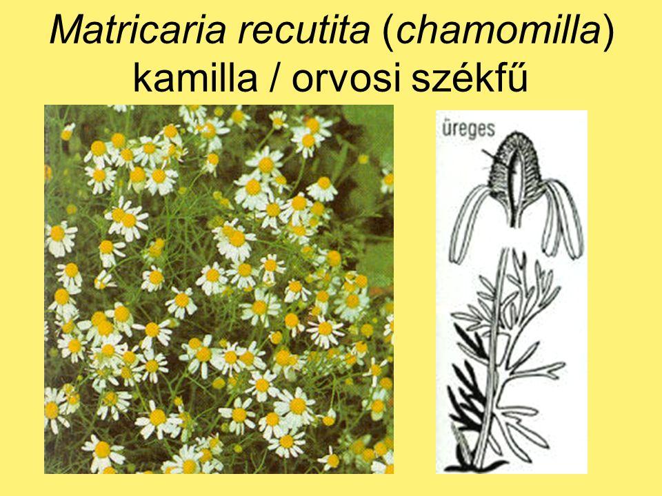 Matricaria recutita (chamomilla) kamilla / orvosi székfű