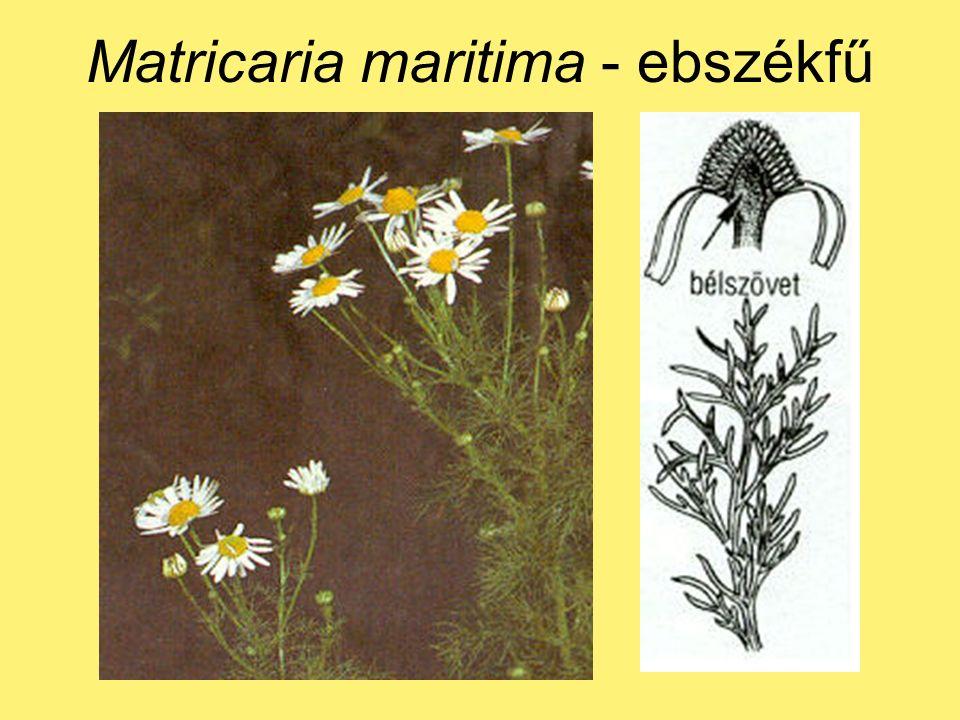 Matricaria maritima - ebszékfű