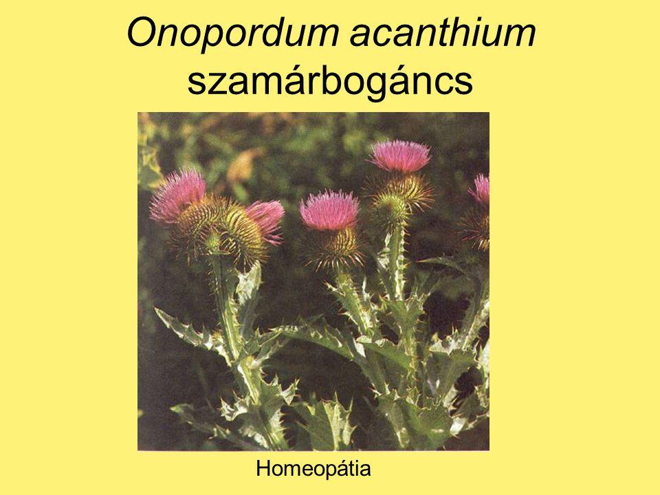 Onopordum acanthium szamárbogáncs Homeopátia