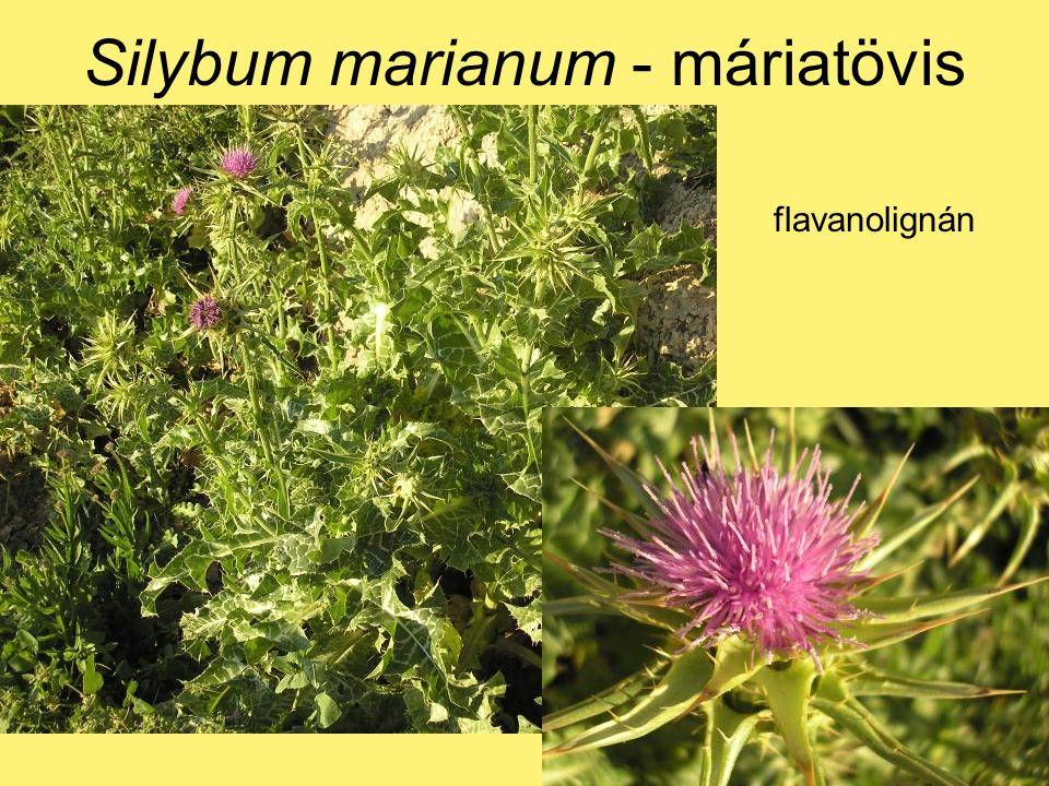 Silybum marianum - máriatövis flavanolignán