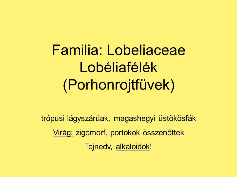 Familia: Lobeliaceae Lobéliafélék (Porhonrojtfüvek) trópusi lágyszárúak, magashegyi üstökösfák Virág: zigomorf, portokok összenőttek Tejnedv, alkaloidok!