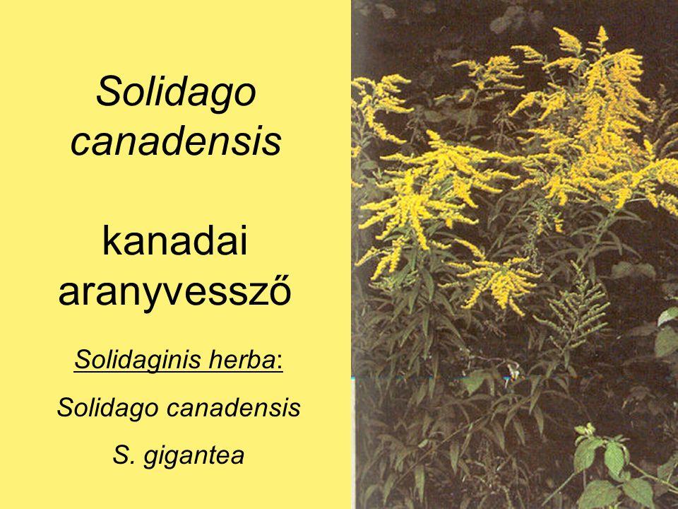 Solidago canadensis kanadai aranyvessző Solidaginis herba: Solidago canadensis S. gigantea