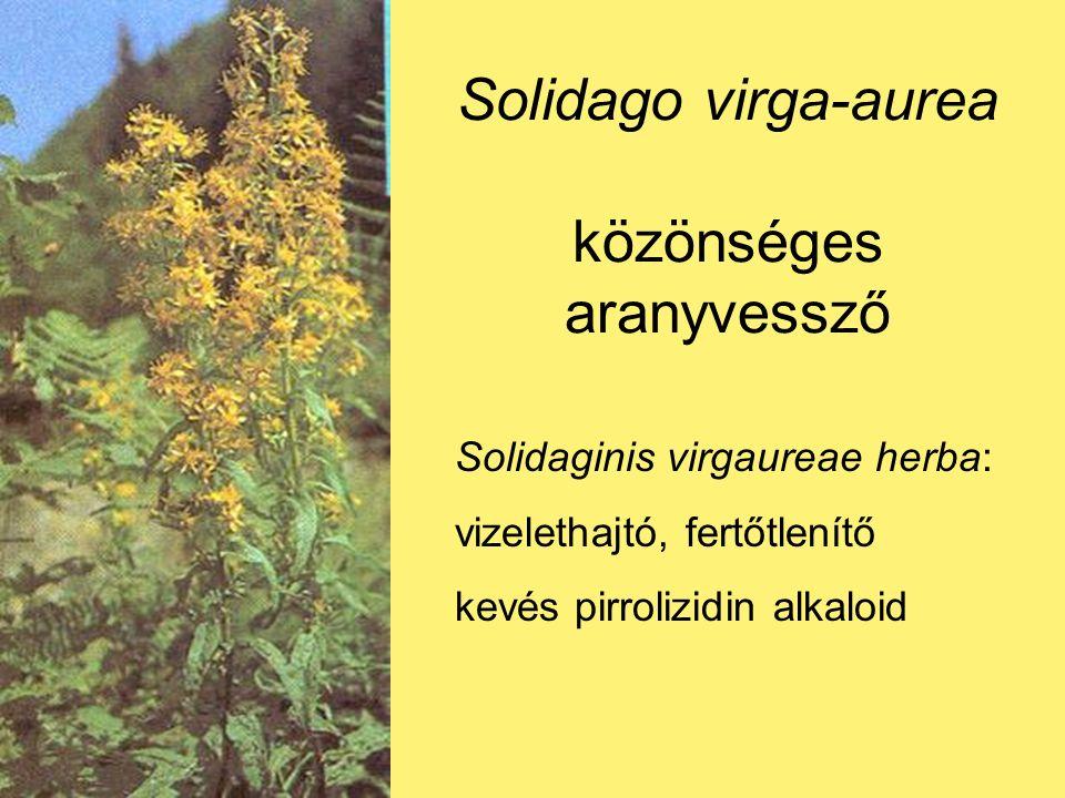 Solidago virga-aurea közönséges aranyvessző Solidaginis virgaureae herba: vizelethajtó, fertőtlenítő kevés pirrolizidin alkaloid