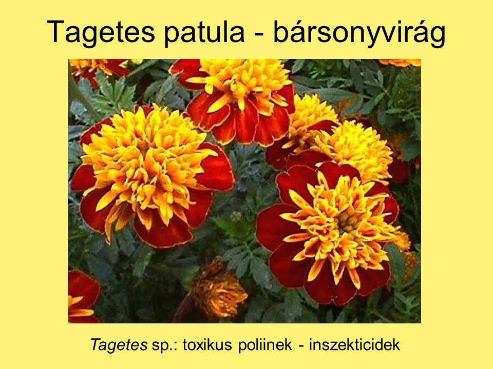 Tagetes patula - bársonyvirág Tagetes sp.: toxikus poliinek - inszekticidek