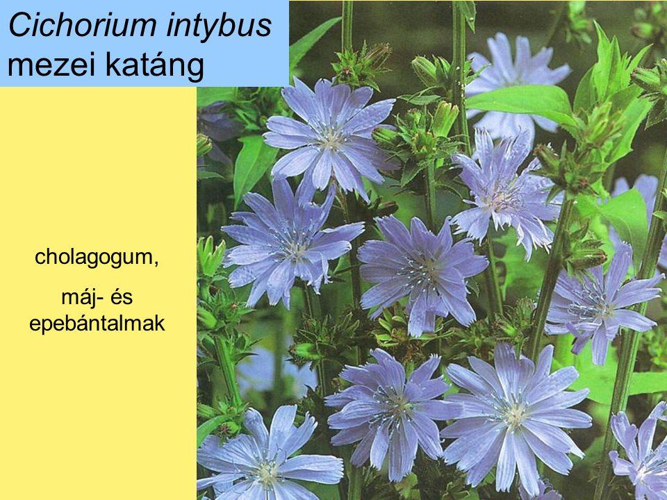 Cichorium intybus mezei katáng cholagogum, máj- és epebántalmak