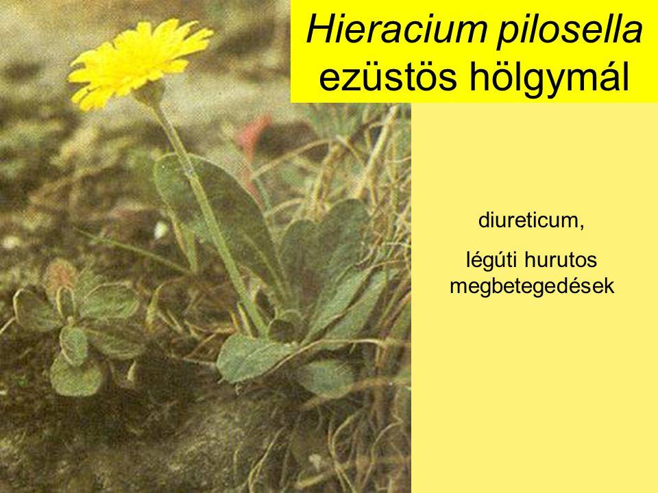 Hieracium pilosella ezüstös hölgymál diureticum, légúti hurutos megbetegedések