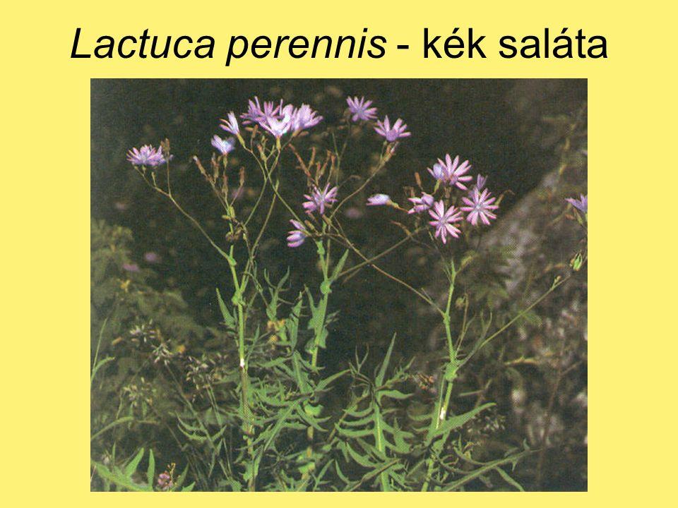 Lactuca perennis - kék saláta
