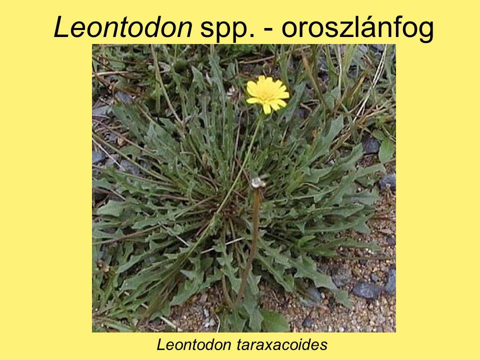 Leontodon spp. - oroszlánfog Leontodon taraxacoides