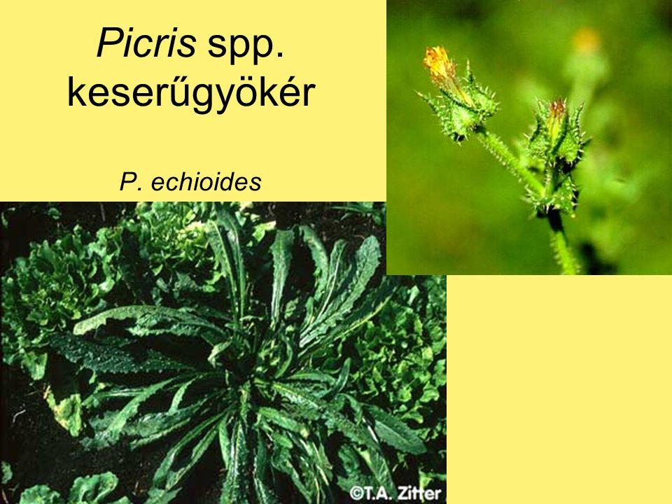 Picris spp. keserűgyökér P. echioides