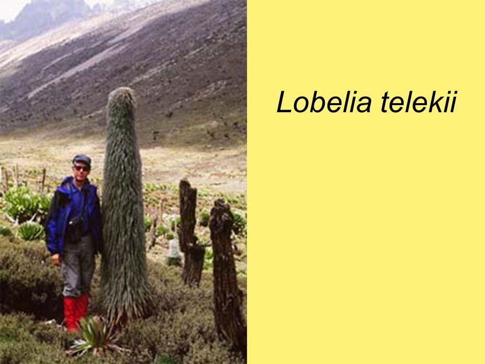 Artemisia absinthium - fehér üröm szeszkviterpén lakton - keserű étvágyfokozó