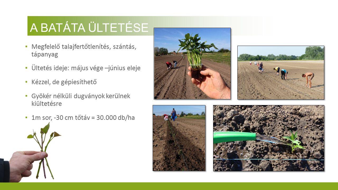 A BATÁTA ÜLTETÉSE ▪ Megfelelő talajfertőtlenítés, szántás, tápanyag ▪ Ültetés ideje: május vége –június eleje ▪ Kézzel, de gépiesíthető ▪ Gyökér nélkü