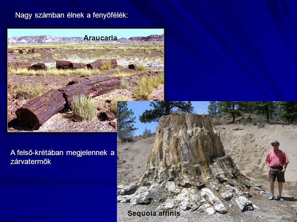 Nagy számban élnek a fenyőfélék: Araucaria Sequoia affinis A felső-krétában megjelennek a zárvatermők