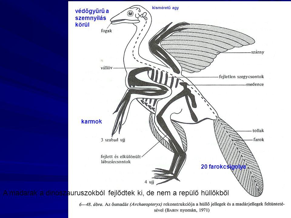 kisméretű agy védőgyűrű a szemnyílás körül karmok 20 farokcsigolya A madarak a dinoszauruszokból fejlődtek ki, de nem a repülő hüllőkből