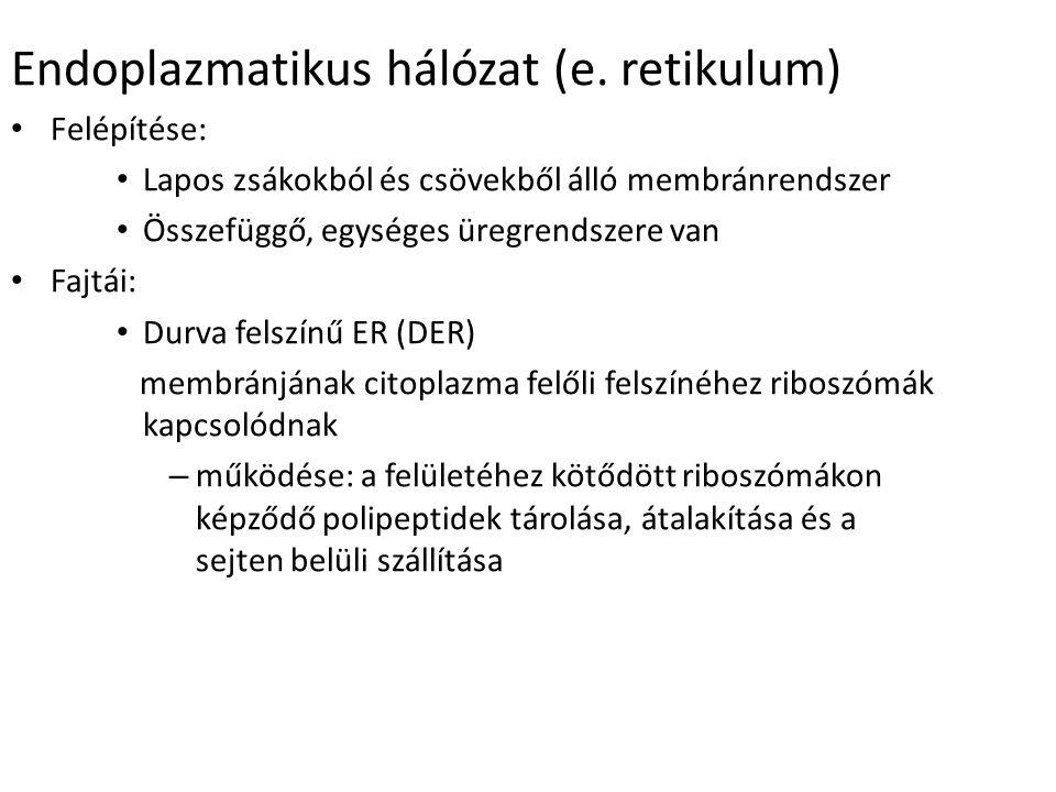 Endoplazmatikus hálózat (e.