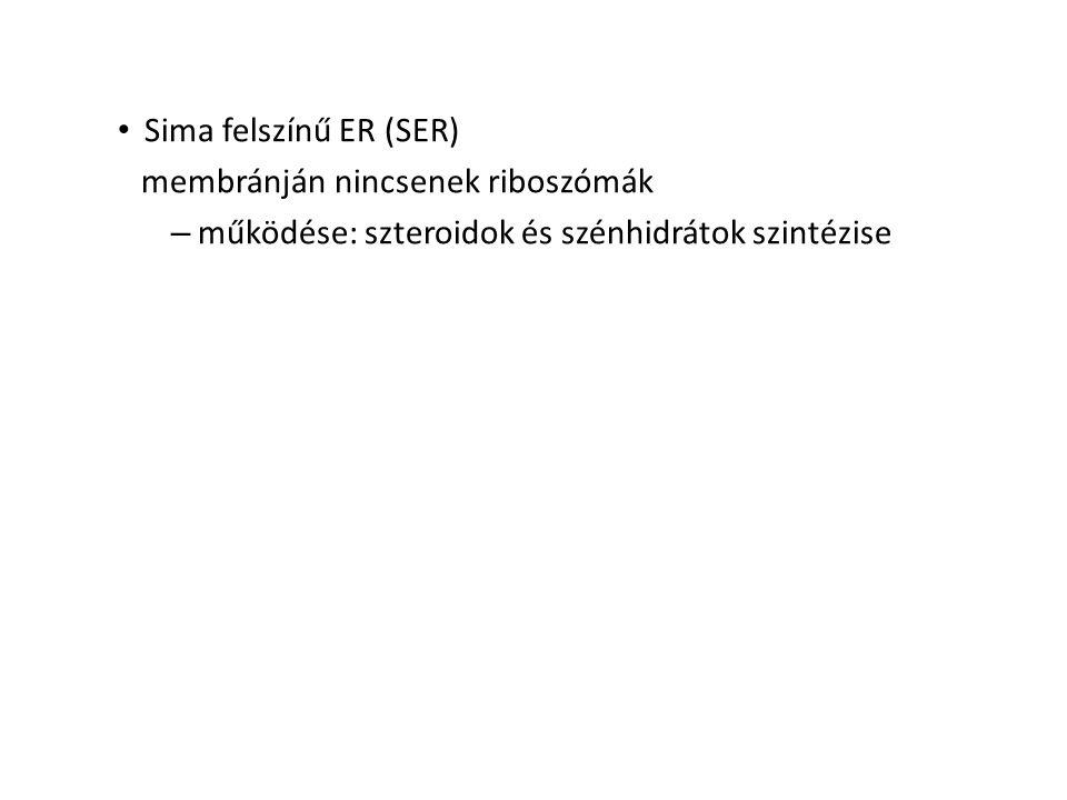 Sima felszínű ER (SER) membránján nincsenek riboszómák – működése: szteroidok és szénhidrátok szintézise