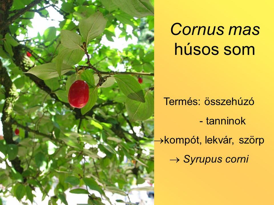 Cornus mas húsos som Termés: összehúzó - tanninok  kompót, lekvár, szörp  Syrupus corni
