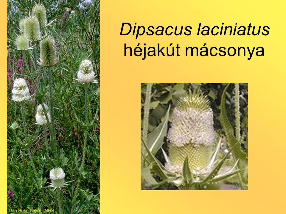 Dipsacus laciniatus héjakút mácsonya