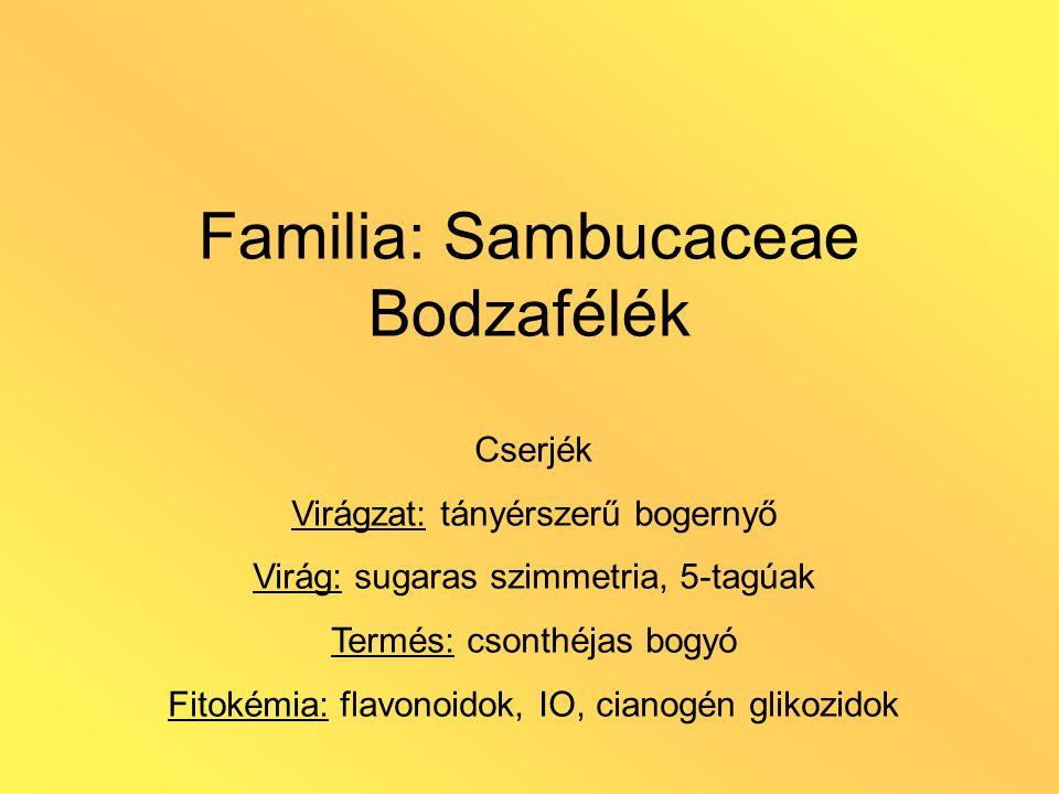 Familia: Sambucaceae Bodzafélék Cserjék Virágzat: tányérszerű bogernyő Virág: sugaras szimmetria, 5-tagúak Termés: csonthéjas bogyó Fitokémia: flavono