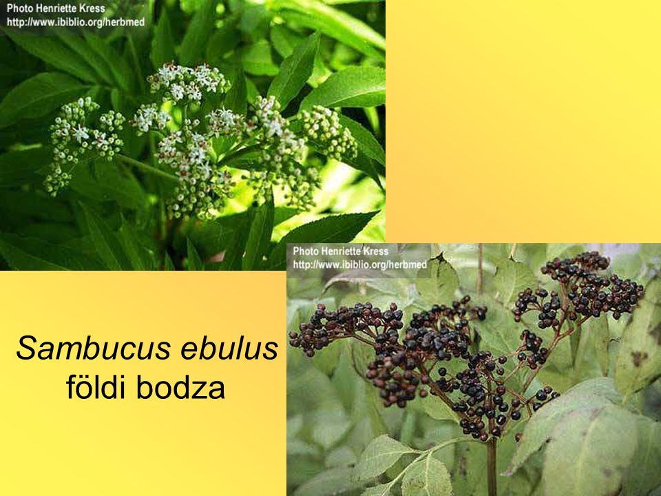 Sambucus ebulus földi bodza