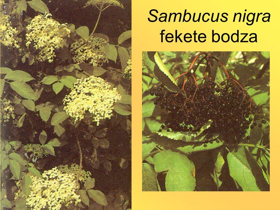 Sambucus nigra fekete bodza