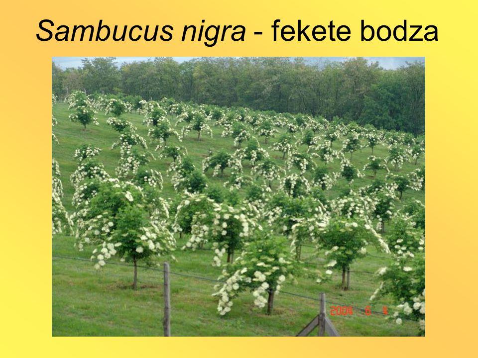 Sambucus nigra - fekete bodza