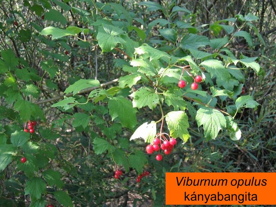 Viburnum opulus kányabangita
