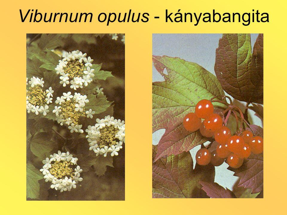 Viburnum opulus - kányabangita