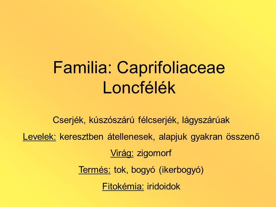 Familia: Caprifoliaceae Loncfélék Cserjék, kúszószárú félcserjék, lágyszárúak Levelek: keresztben átellenesek, alapjuk gyakran összenő Virág: zigomorf