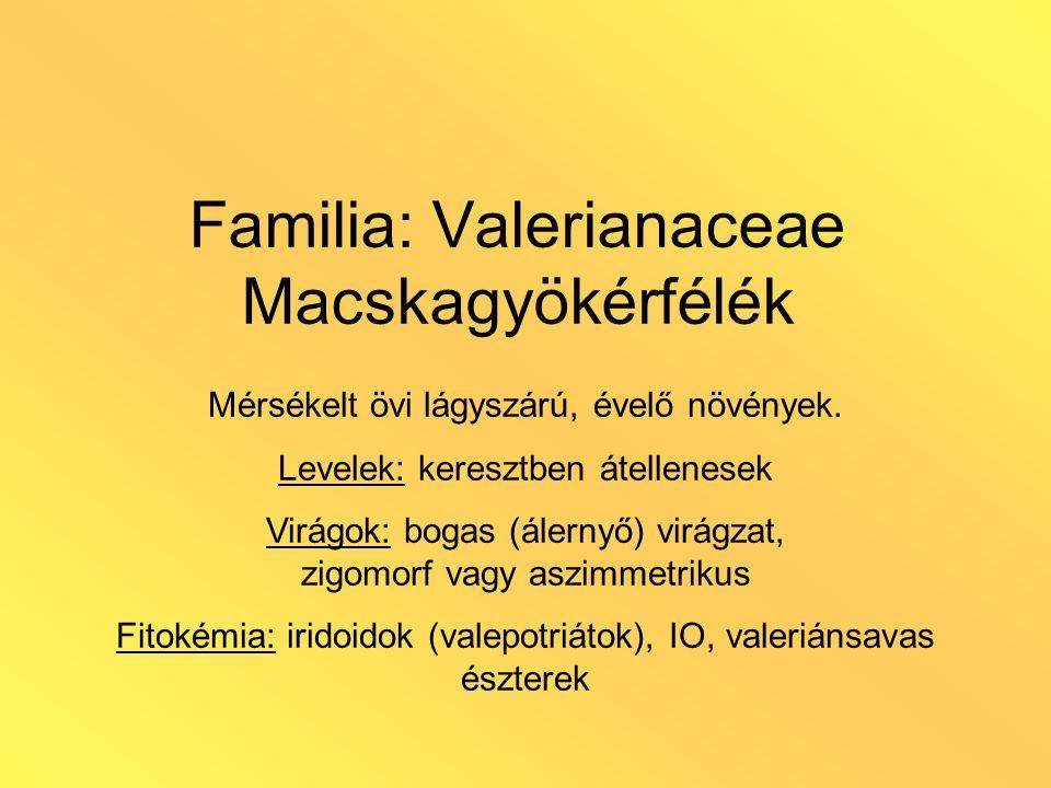 Familia: Valerianaceae Macskagyökérfélék Mérsékelt övi lágyszárú, évelő növények. Levelek: keresztben átellenesek Virágok: bogas (álernyő) virágzat, z