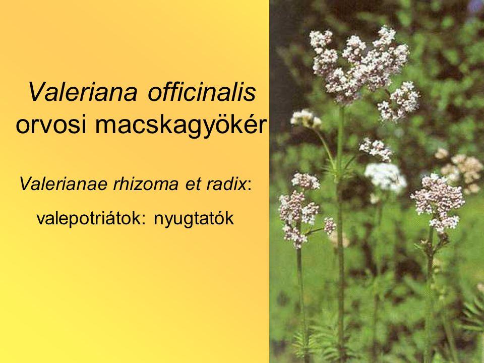 Valeriana officinalis orvosi macskagyökér Valerianae rhizoma et radix: valepotriátok: nyugtatók