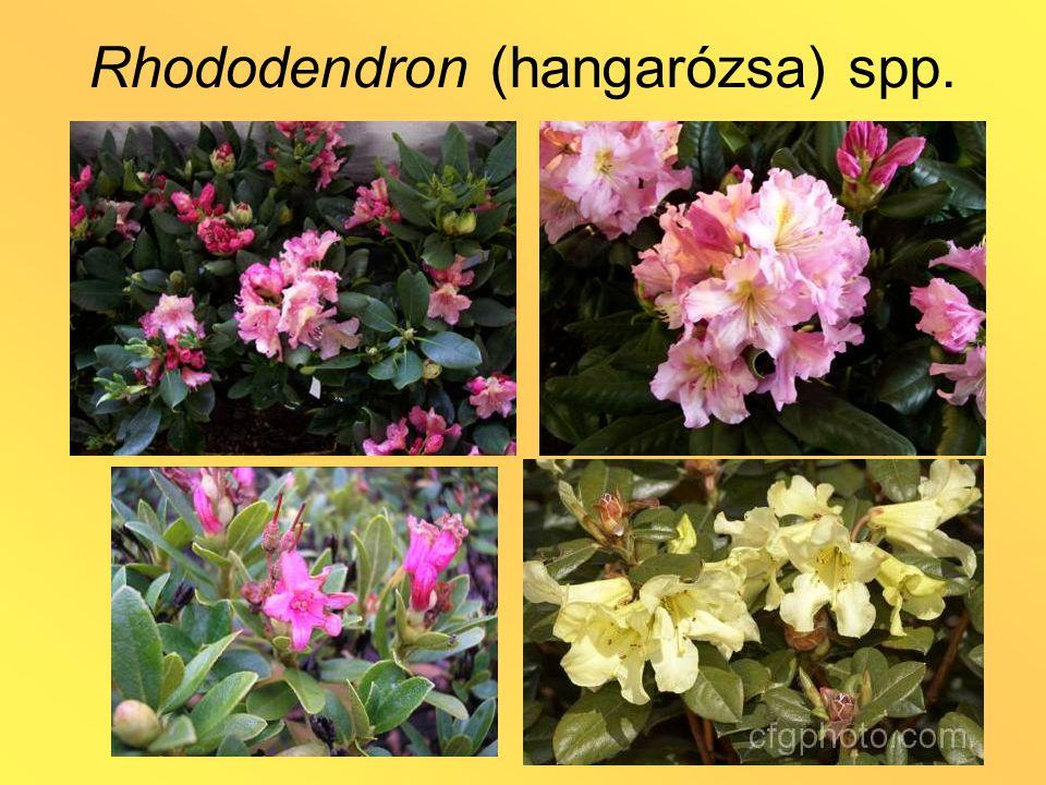 Rhododendron (hangarózsa) spp.