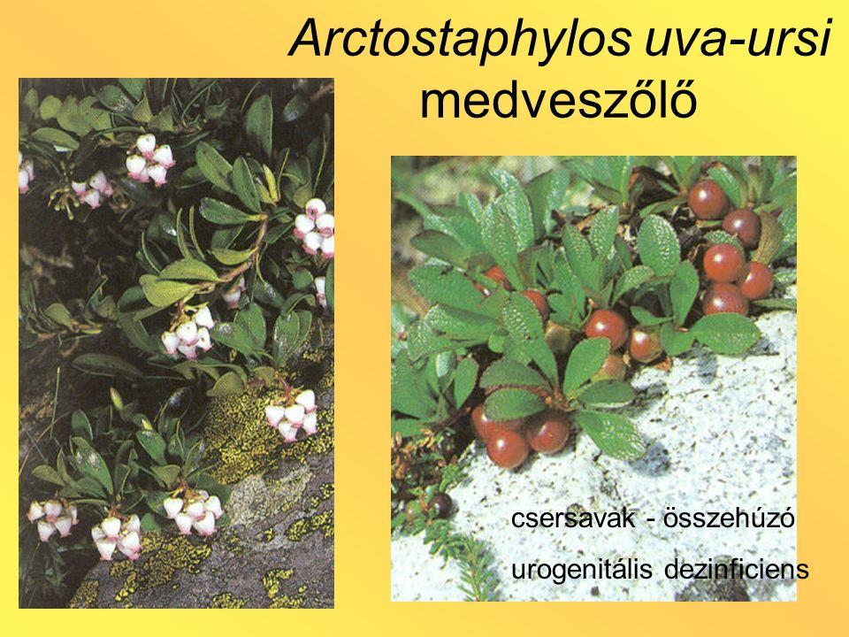 Arctostaphylos uva-ursi medveszőlő csersavak - összehúzó urogenitális dezinficiens