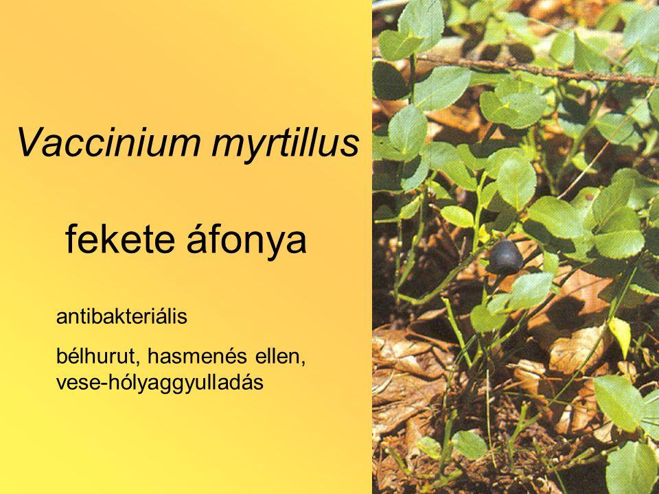Vaccinium myrtillus fekete áfonya antibakteriális bélhurut, hasmenés ellen, vese-hólyaggyulladás