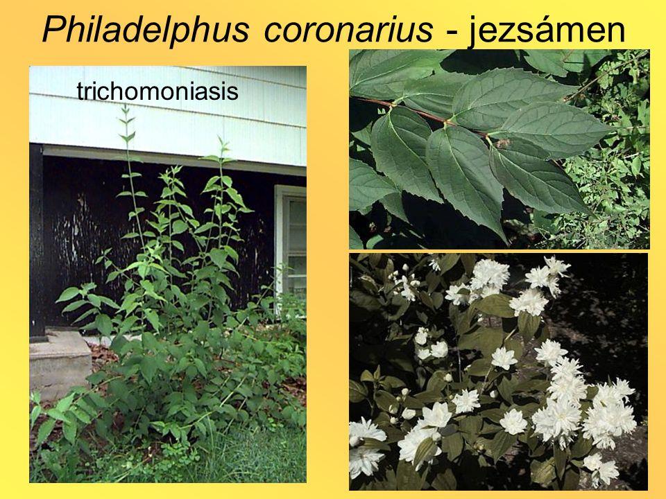 trichomoniasis Philadelphus coronarius - jezsámen