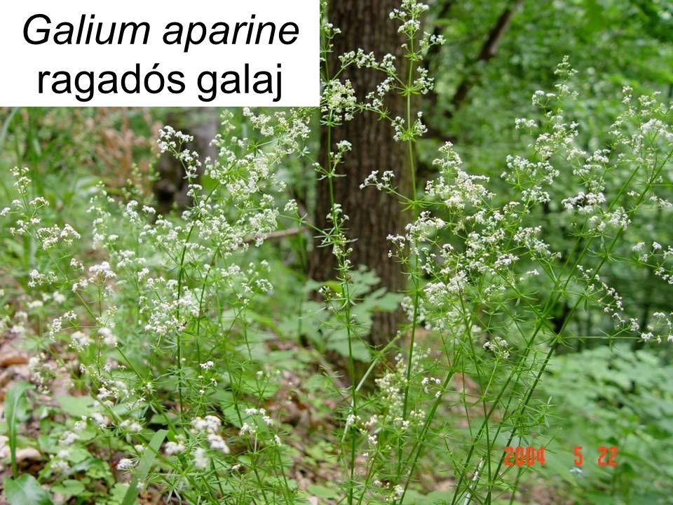 Galium aparine ragadós galaj