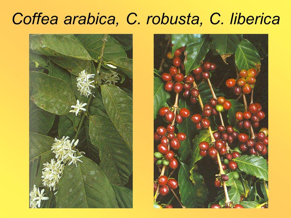 Coffea arabica, C. robusta, C. liberica
