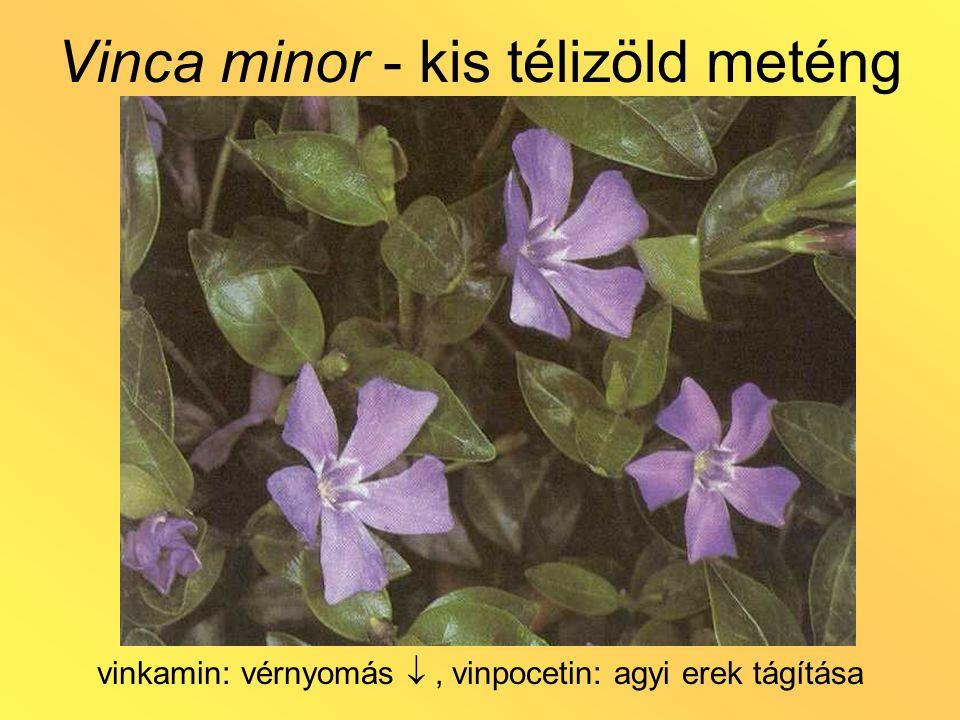 Vinca minor - kis télizöld meténg vinkamin: vérnyomás , vinpocetin: agyi erek tágítása