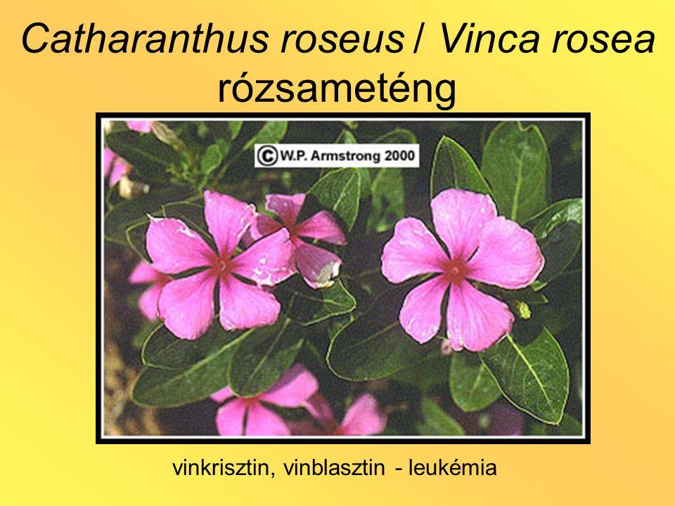 Catharanthus roseus / Vinca rosea rózsameténg vinkrisztin, vinblasztin - leukémia
