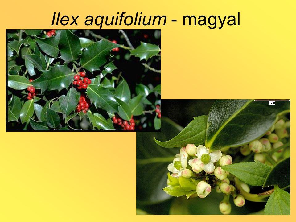 Ilex paraguariensis - matécserje